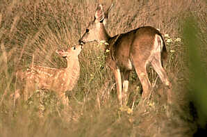 doe-and-fawn