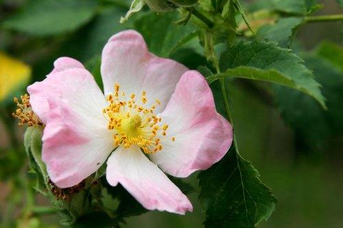 wild_rose_flower
