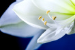 stock-photo-5360677-close-up-of-white-flower