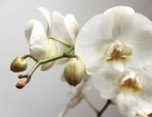 9151340-orchid-on-a-grey-background