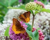 14198124-two-great-spangled-fritillary-butterflies-on-milkweed-flowers