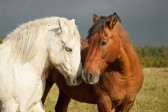 18282779-a-pair-of-horses-showing-affection
