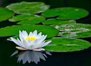 beautiful-waterlily-images-for-profile-share-2-09ac3