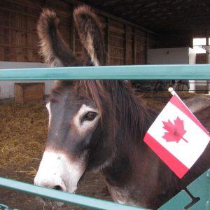 Donkey Canada Day