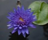 15802423-purple-lotus-flower-on-pond