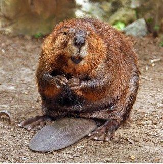 American_Beaver