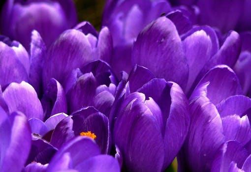 crocus-flower-spring-purple-59992